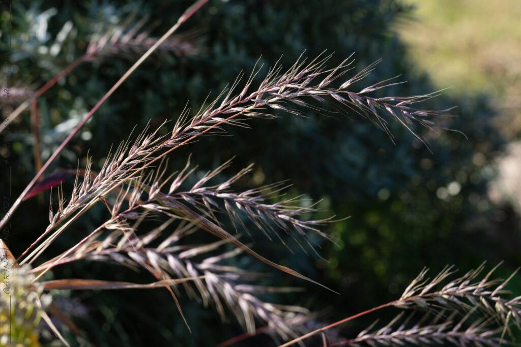 Elymus hystrix - flaskborstgräs