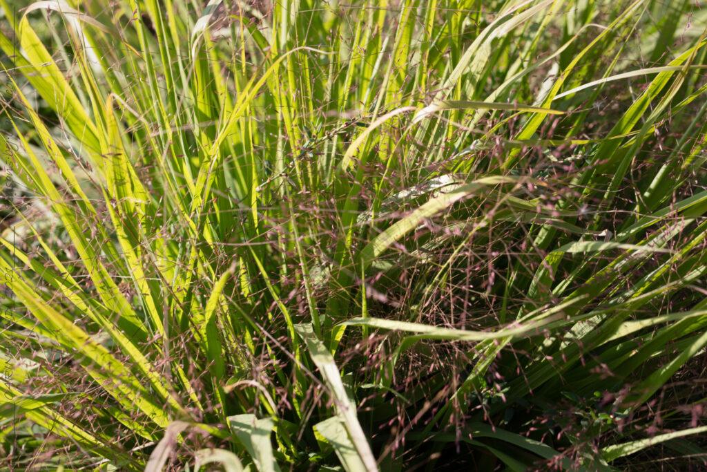Gräsen - Eragrostis spectabilis, purpurkärleksgräs
