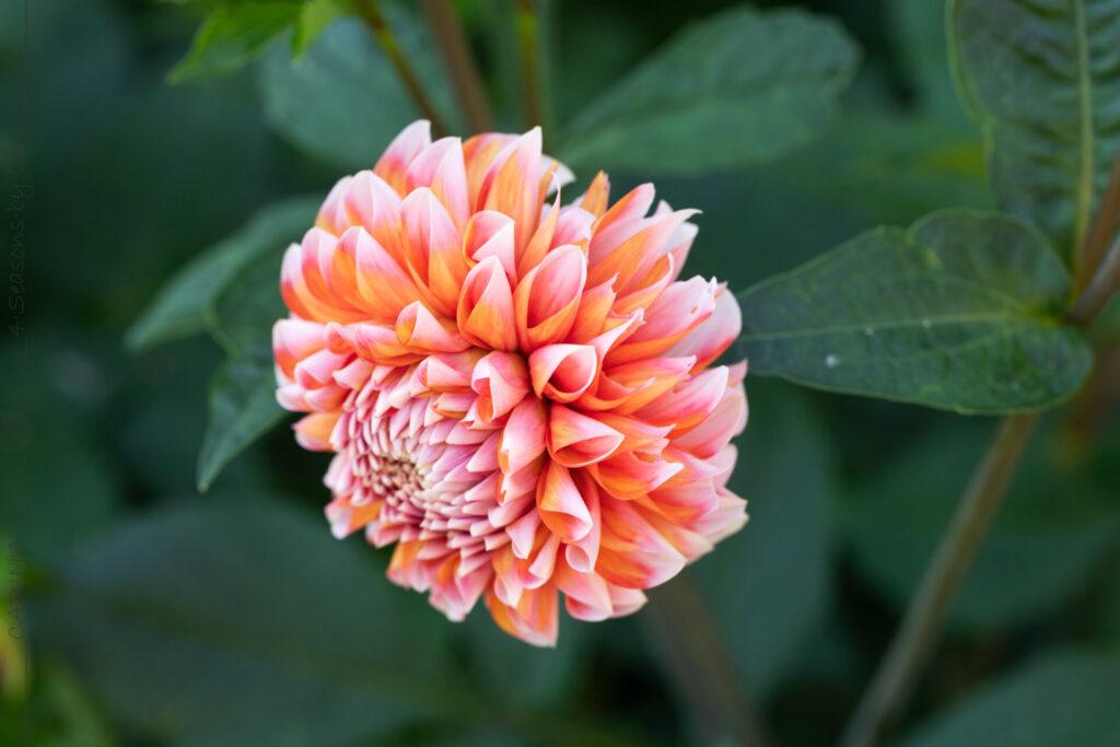 Dahlia 'Peaches 'n Cream'?