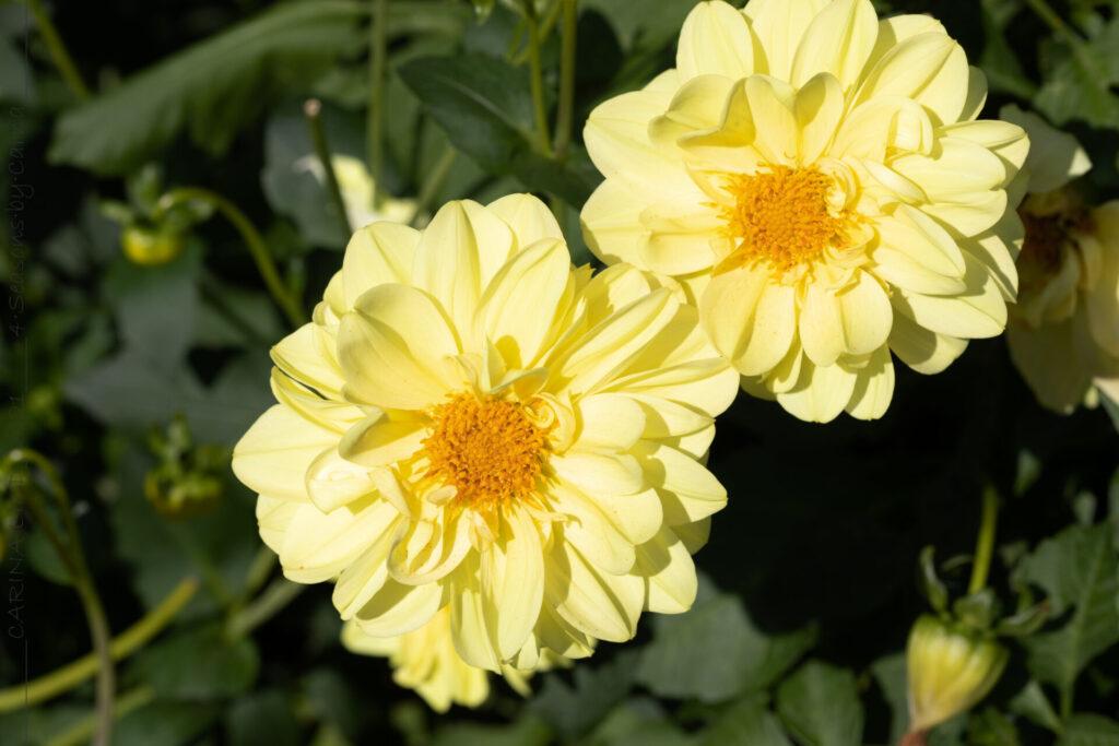 Summering - Dahlia 'Glory of Heemstede'