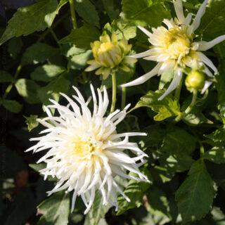 Dahlia - vit låg kaktus