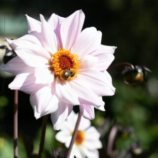 Dahlia 'Bishop of Leicester
