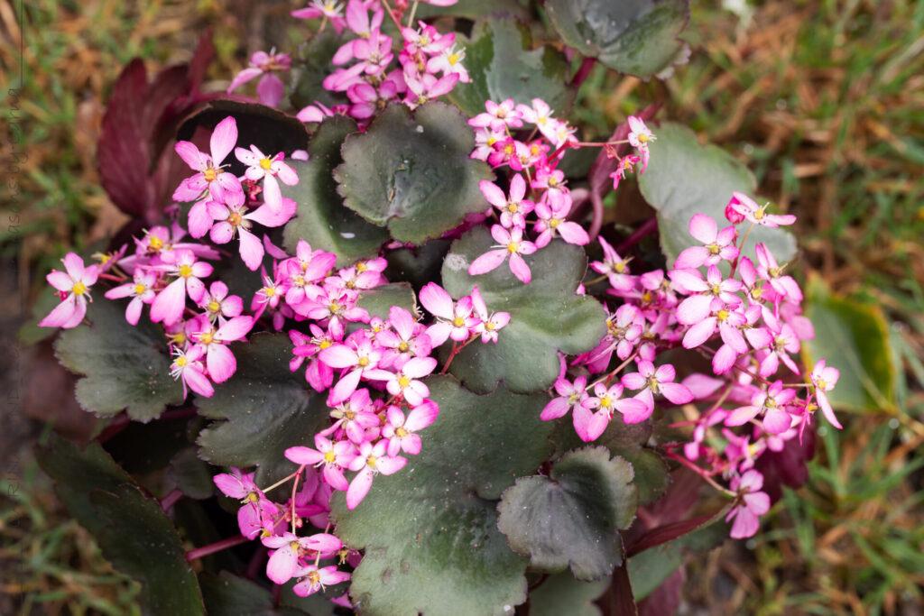 Höstbräcka - Saxifraga cortusifolia 'Tessi'