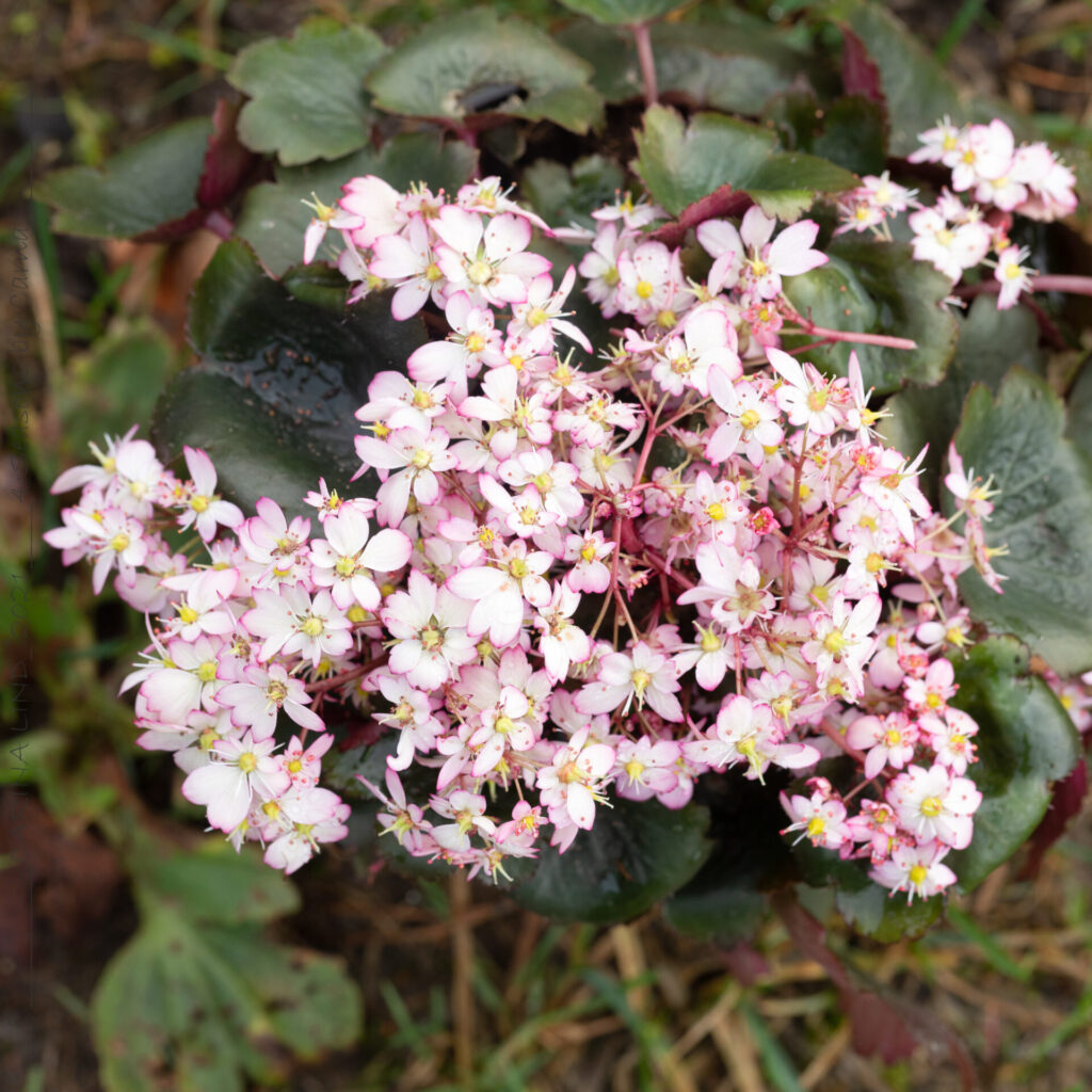 Höstbräcka - Saxifraga cortusifolia 'Tilda'