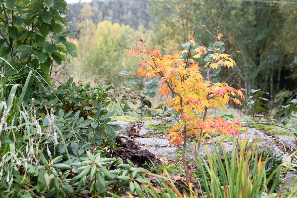 Acer pseudosieboldianum - manchurisk solfjäderslönn