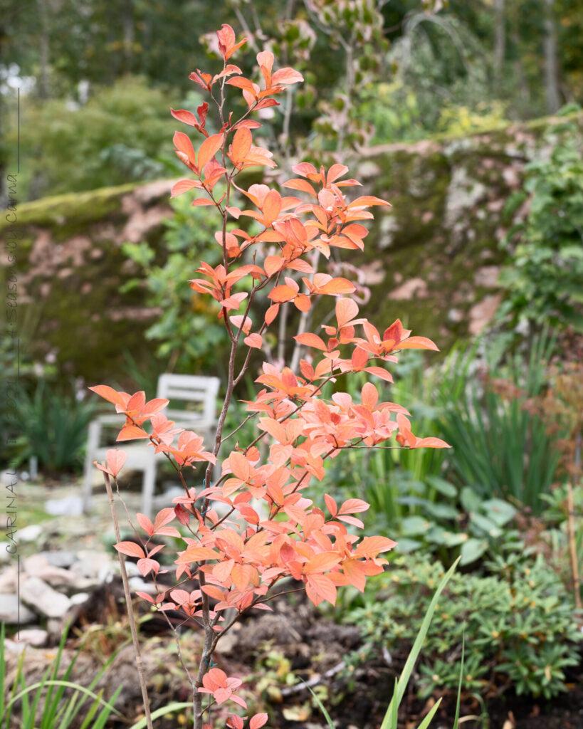 Stewartia pseudocamellia - japansk skenkamelia