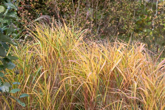 Oktoberstart - Miscanthus sinensis 'Purpurascens' - kopparmiskantus