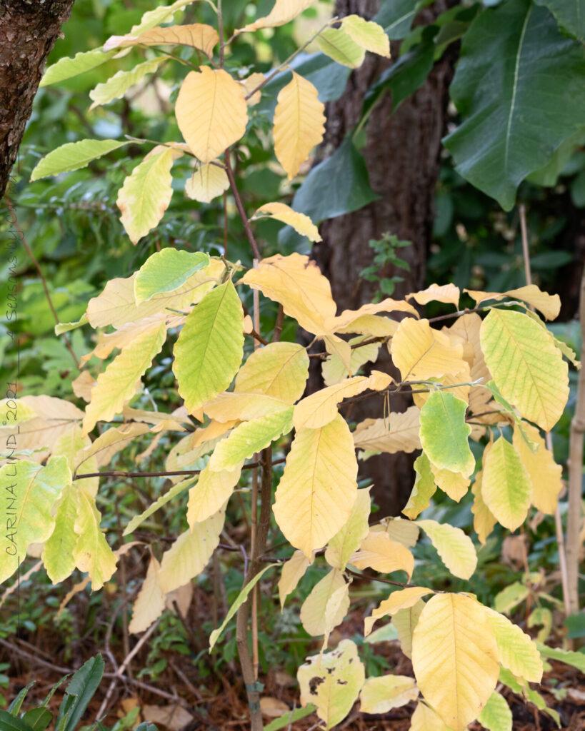 Oktoberstart - Magnolia 'Ando'