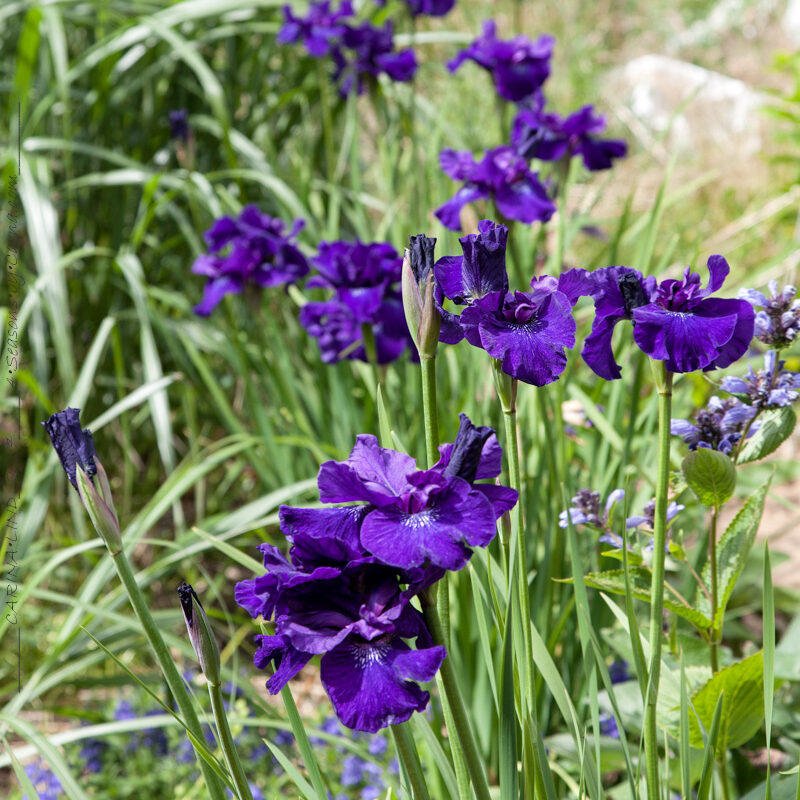 Iris sibirica 'Blueberry Brandy'